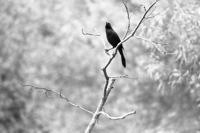 Birds in Black and White Photo Project, 1976